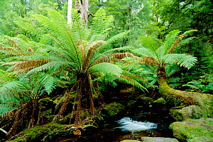 Soft tree fern {Balantium antarcticum} growing in montane forest Mt Field NP, Tasmania, Australia - Martin Gabriel