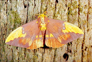 Imperial moth female on bark {Eacles imperialis} Florida, USA - Barry Mansell