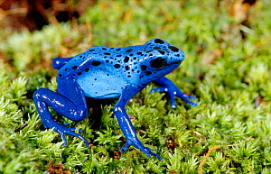 Blue poison arrow frog {Dendrobates azureus} occurs South America - Barry Mansell
