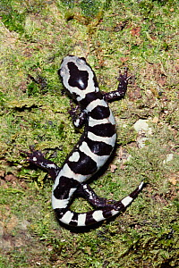 Marbled salamander {Ambystoma opacum} W Florida, USA, North America - Barry Mansell