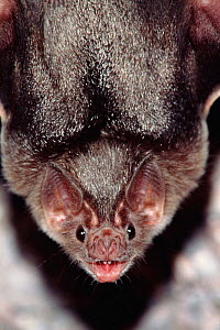Common vampire bat portrait {Desmodus rotundus} Sonora, Mexico, Central America - Barry Mansell