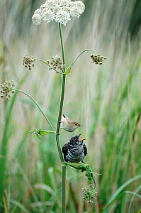 Juvenile European cuckoo {Cuculus canorus} begging for food from 'parent' Reed warbler {Acrocephalus scirpaceus} UK  -  David Kjaer