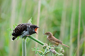 Juvenile European cuckoo {Cuculus canorus} fed by Reed warbler {Acrocephalus scirpaceus}. Bucks, UK. Cuckoos lay their eggs in the nests of reed warblers and when they hatch, the warbler mother will a...  -  David Kjaer