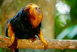 Golden headed lion tamarin {Leontopithecus chrysomelas} occurs Bahia, Brazil  -  Pete Oxford