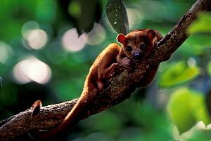 Kinkajou peering at camera {Potos flavus} tropical rainforest, C + S America - Pete Oxford
