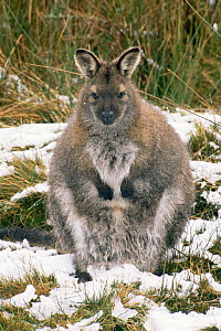 Bennett's / Red necked wallaby {Macropus rufogriseus} in snow, Tasmania, Australia.  -  John Cancalosi