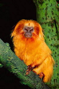 Golden lion tamarin {Leontopithecus rosalia} from Brazil, critically endangered species  -  Rod Williams