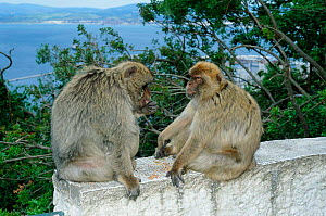 Barbary apes {Macaca sylvanus) with Straits of Gibraltar in background, Gibraltar, Spain  -  Jose B. Ruiz
