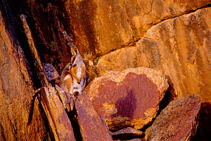 Yellow-footed rock wallaby {Petrogale xanthopus} South Australia - Dave Watts