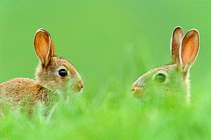 Two young European rabbits {Oryctolagus cuniculus} in grass, Derbyshire, UK - Geoff Scott-Simpson