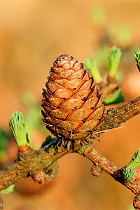 European larch cone with new leaf growth {Larix decidua} Derbyshire, Peak District NP, UK - Geoff Scott-Simpson