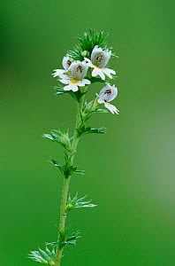 Eyebright flower {Euphrasia nemorosa} Derbyshire, UK - Geoff Scott-Simpson