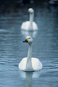 Bewick swan on water {Cygnus columbianus bewickii} Washington WWT, Co Durham, UK - Geoff Scott-Simpson