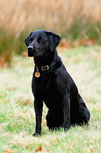 Black labrador sitting {Canis familiaris} Cheshire, UK - Geoff Scott-Simpson
