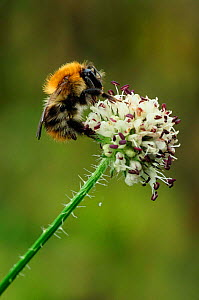 Common carder bumble bee {Bombus pascuorum} feeds on flower Derbyshire, UK - Geoff Scott-Simpson