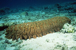 Prickly red fish sea cucumber {Thelenota ananas} Great Barrier Reef, Australia - Georgette Douwma