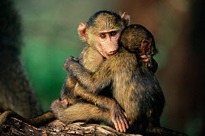 Olive baboon babes hugging one another {Papio anubis} Kenya, East Africa - Anup Shah