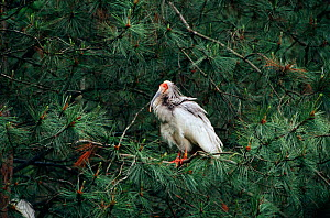 Crested ibis in conifer tree {Nipponia nippon} Shaanxi province, China. Endangered  -  XI ZHINONG