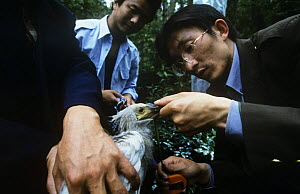 Naturalists measure Crested ibis {Nipponia nippon} Endangered, Shaanxi prov, China - XI ZHINONG