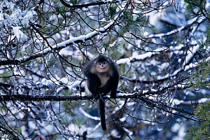 Yunnan snub nosed monkey in tree Yunan, China {Rhinopithecus bieti} Sub-species of Chinese snub-nosed monkey, now considered a separate species. Endangered  -  Xi Zhinong