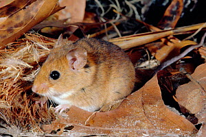Cotton mouse {Peromyscus gossypinus} Florida, USA - Barry Mansell
