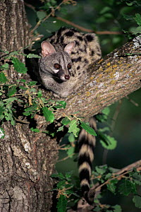 Small spotted genet  in tree {Genetta genetta} Spain, Europe  -  Juan Manuel Borrero