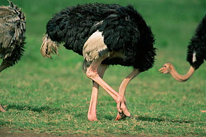 Ostrich sticking head in the ground {Struthio camelus} (scratching) Kenya, East Africa - Anup Shah