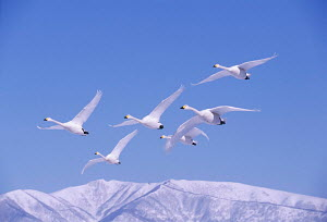 Whooper swans flying and 'whooping' loudly {Cygnus cygnus} Akan National Park, Hokkaido, Japan. Eric Hosking Award winning portfolio in BG Wildife Photo Competition 2002.  -  VINCENT MUNIER