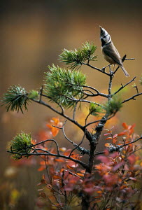 Inquisitive Crested tit on pine {Lophophanes cristatus} Vosges Mountains, Eastern France. Eric Hosking Award winning portfolio in BG Wildife Photo Competition 2002 - VINCENT MUNIER