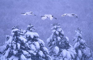Japanese cranes (Grus japonensis) parents and previous year's chick, flying to roost in snowstorm, Akan NP, Hokkaido, Japan. Eric Hosking Award winning portfolio in BG Wildife Photo Competition 2002  -  VINCENT MUNIER