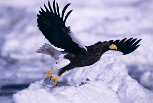 Steller sea eagle taking off {Haliaeetus pelagicus} Okhotsk sea, between Russia & Japan. Winner of the Gerald Durrell Award for Endangered species in the BG Wildlife Photo Competition 2002. - VINCENT MUNIER