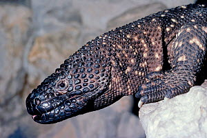 Mexican beaded lizard portrait {Heloderma horridum} captive, occurs in Mexico Venomous species  -  Rod Williams