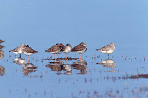 Redshanks {Tringa totanus} and Grey plover {Pluvialis squatarola} at high tide roost. Hampshire, UK - Mike Read