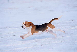 Beagle running through snow {Canis familiaris} USA  -  Lynn M Stone