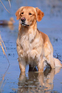 Golden retriever in water, USA, North America - Lynn M Stone