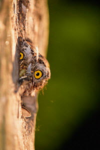 Pygmy owl peers out of nest hole in tree {Glaucidium passerinum} Sweden  -  Bengt Lundberg