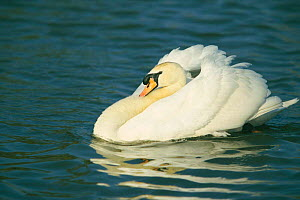 Male Mute swan swimming with feather's puffed up {Cygnus olor} Gloucestershire, UK  -  David Kjaer