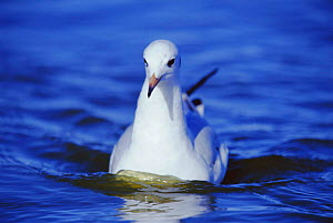 Grey headed gull on water {Chroicocephalus cirrocephalus} La Pampa, Argentina Macachin, pampas  -  Gabriel Rojo