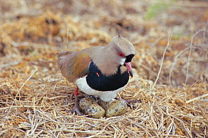 Southern lapwing {Vanellus chilensis} at nest with eggs hatching. La Pampa, Argentina  -  Gabriel Rojo