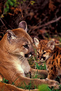 Puma with cub {Felis concolor} - Dave Watts