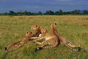'Amber' and her three cheetah cubs at rest on termite mound {Acinonyx jubatus} Masai Mara NR, Kenya, E Africa. BIG CAT DIARY 1999 - Angela Scott