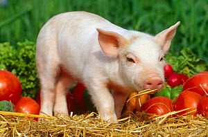 Domestic piglet with vegetables {Sus scrofa domestica} USA  -  Lynn M Stone