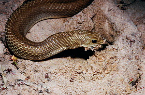Leioheterodon modestus snake swallows frog it has dug out of damp sand in tropical dry forest, Madagascar  -  PREMAPHOTOS