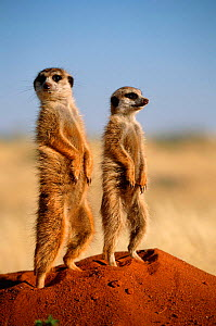 Two Meerkats standing on guard {Suricata suricatta} Tswalu Kalahari R, South Africa - suricates - Marguerite Smits Van Oyen