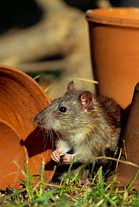 Brown rat in garden {Rattus norvegicus} Bristol, UK - Nigel Bean