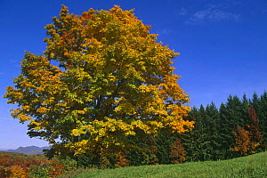 Sugar maple tree with leaves turning colour, Autumn, {Acer saccharum} Vermont, USA  -  Lynn M Stone