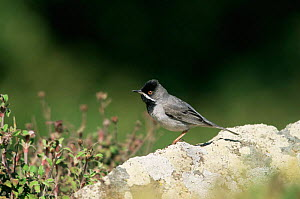 Ruppell's warbler {Sylvia ruepelli} on rock, Island of Lesbos, Greece, Europe. - George McCarthy