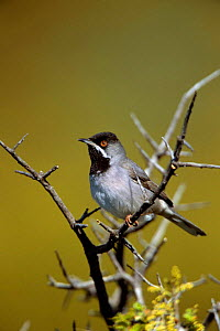 Ruppell's warbler in tree {Sylvia ruepelli} Island of Lesvos, Greece, Europe - George McCarthy