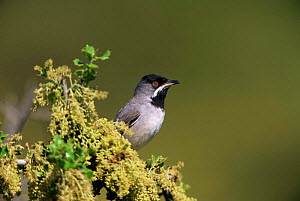 Ruppell's warbler {Sylvia ruepelli} Island of Lesbos, Greece, Europe. - George McCarthy