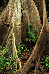 Buttress roots details, Manaus, Brazil, South America  -  Staffan Widstrand